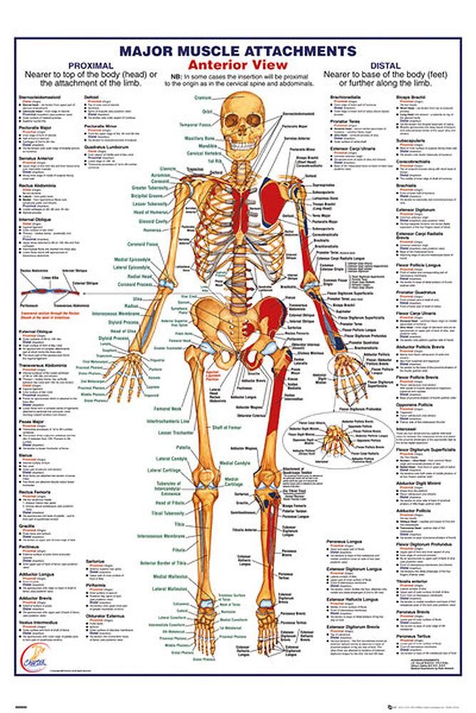 Bildung - Der Menschliche Körper - Muskeln 2 Poster - Maxi-Posters ...