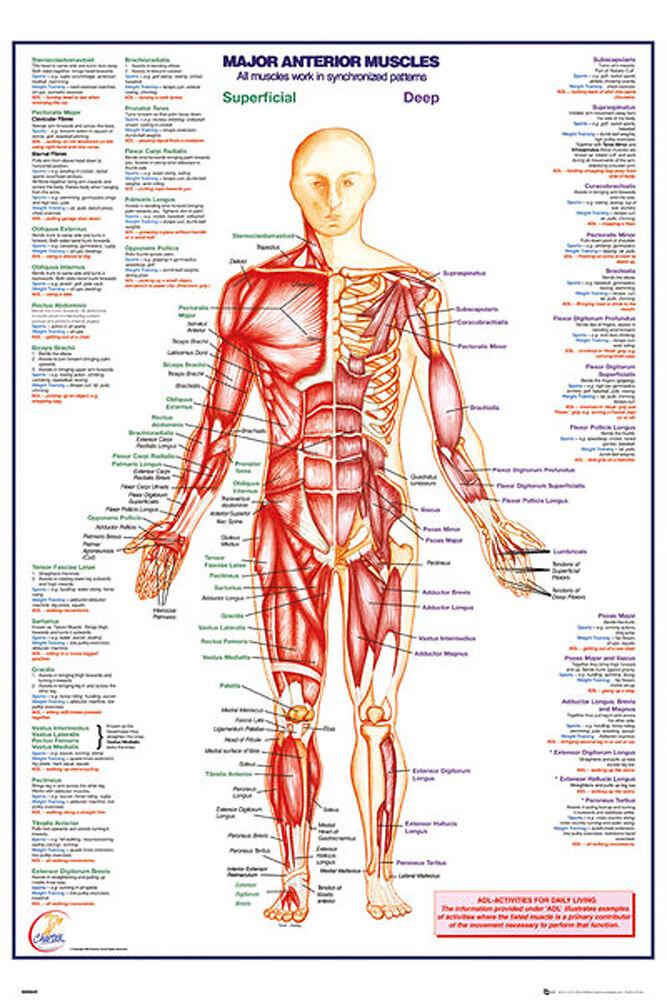 Bildung - Der Menschliche Körper - Muskeln 3 Poster - Maxi-Posters ...