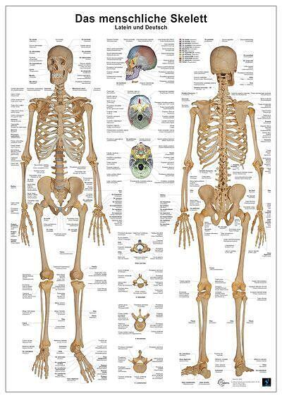 Das menschliche Skelett - Andreas Busse, Christoph Oberdieck ...